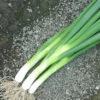 Semi Cipolla a mazzetto Varietà GREEN BANNER SEMINIS
