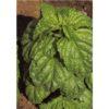 Semi Basilico grandi foglie valentino LA SEMIORTO 500g sementi