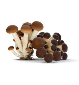 Micelio funghi Pioppino (Pholiota aegerita) 50g